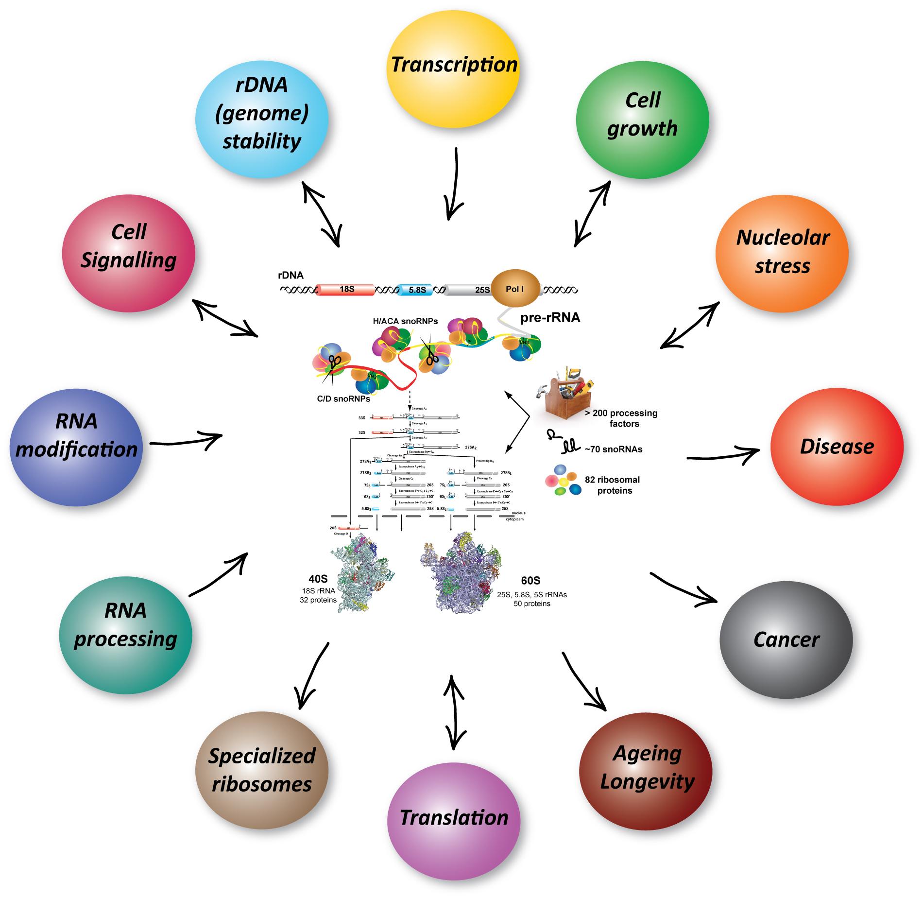 Processes RibosomeBiogenesis scheme%282%29 biochemiezentrum der universitÄt heidelberg (bzh)